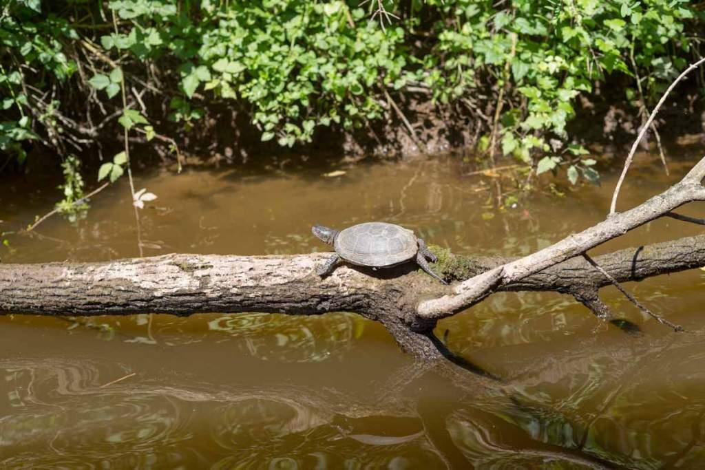 Schildkröte am Ropotamo-Fluss mit 50mm aufgenommen