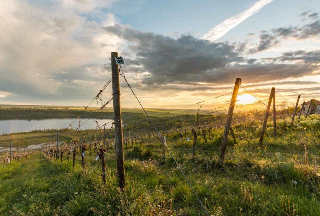 Sonnenuntergang am Weinberg